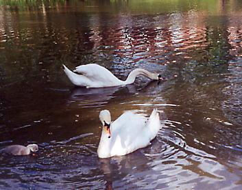 Swans and Cygnet on Madeley Pool
